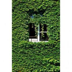Tenture murale trompe l'oeil fenêtre blanche dans la vigne vierge