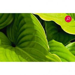 Vegecanvas print wallpaper, giant green leaves