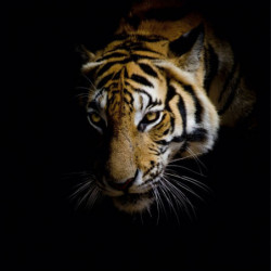 Tableau EYES OF A TIGER