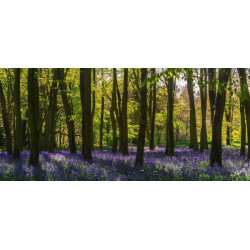 Papier peint panoramique foret de jacinthes