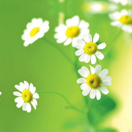 GREEN DAISIES privacy screen