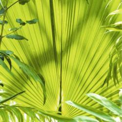 Tableau exotique feuille de palmier géante
