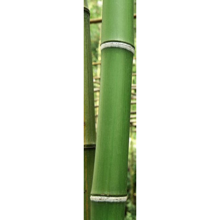 GREEN BAMBOO TREES privacy screen