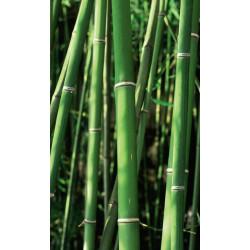 Poster vertical bambouseraie