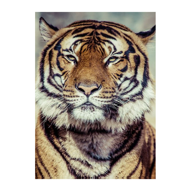 tableau tigre d coration murale plexiglas haute qualit. Black Bedroom Furniture Sets. Home Design Ideas