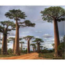 Papier peint panoramique paysage aux baobabs