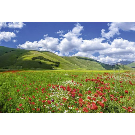 VALLEY OF THE POPPIES Wallpaper