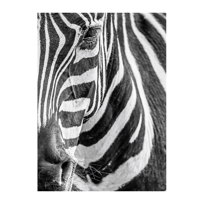 Tableau Deco Plexi Zebre Et Leurs Rayures Noires Et Blanches