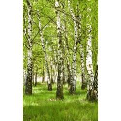 Papier peint panoramique forêt de bouleau verte