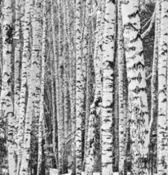 Papier peint forêt de bouleaux noir et blanc