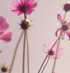Papier peint fleurs roses