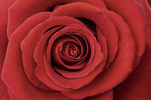 Tableau passion rose rouge