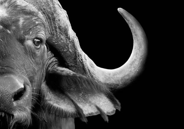 Black and white buffalo canvas print