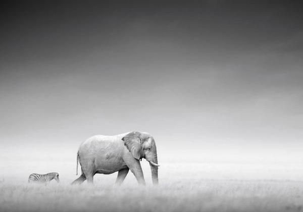 Tableau zèbre et éléphant photo noir et blanc