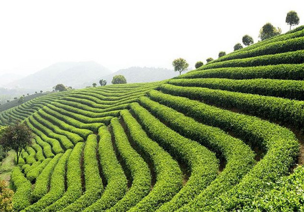 Papier peint champ de thé vert