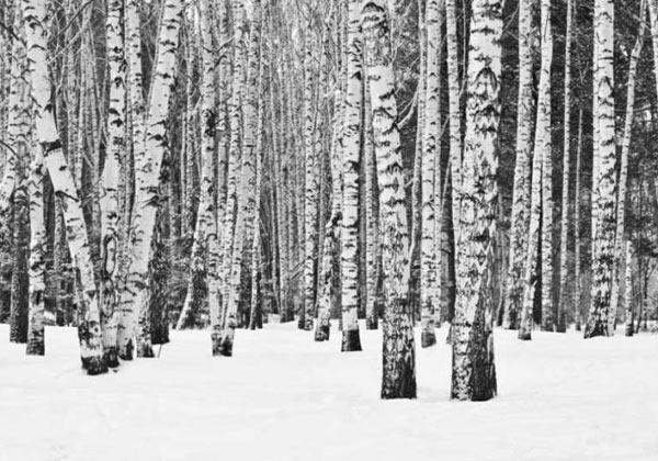 Papier peint forêt de bouleau noir et blanc
