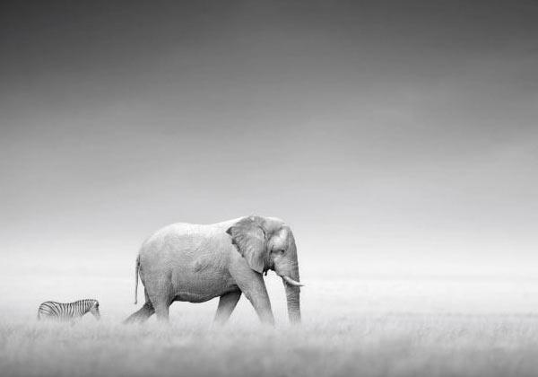 Tableau éléphant et zèbre
